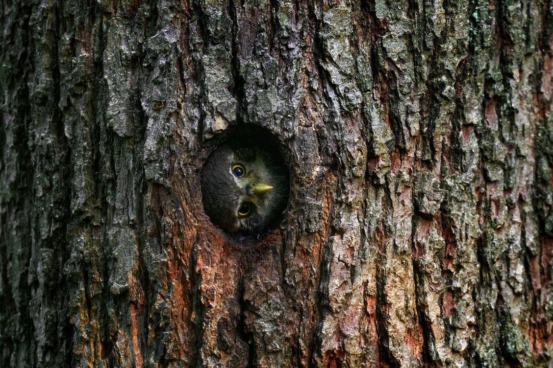 Eurasian pygmy owl by Ondřej Prosický; naturephoto.cz