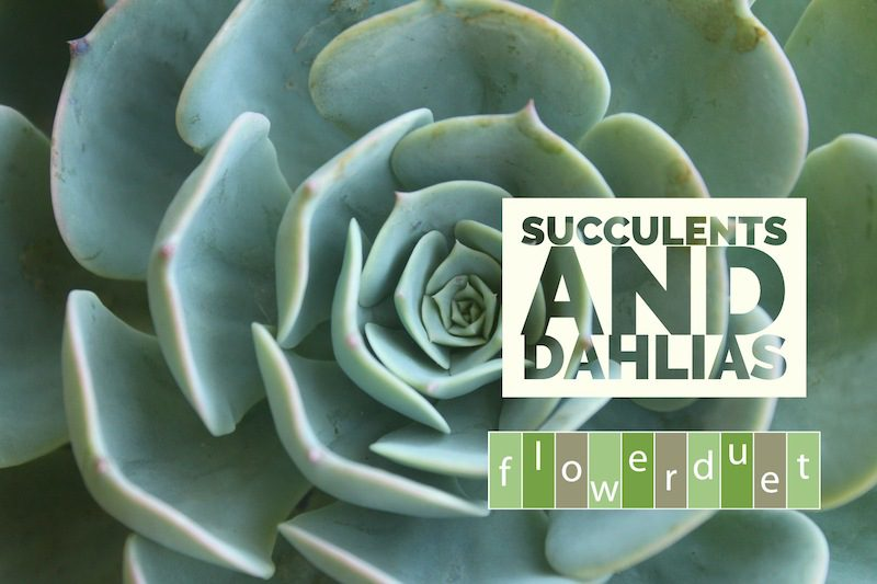 Succulent with text Succulents and Dahlias on it