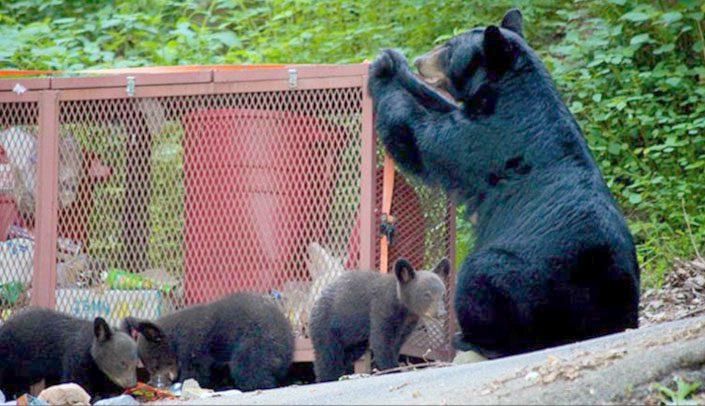 bear and cubs at trash corral