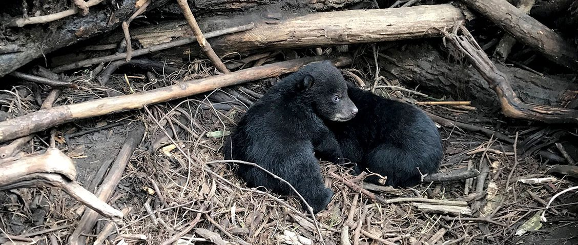 two small black bear cubs in the woods